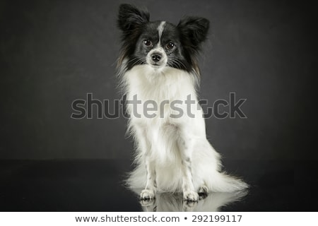cute papillon sitting in dark photo studio stock photo © vauvau