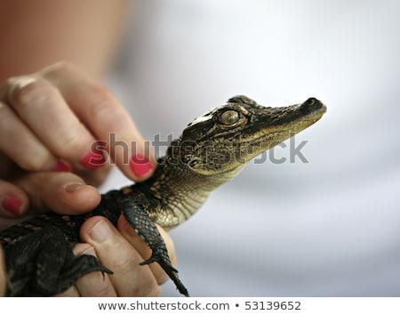 Kéz tart baba krokodil közelkép éles Stock fotó © julianpetersphotos