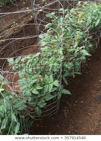 Stock photo: Tomato Plant in Cage