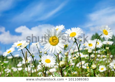 white daisy flowers and clouds stock photo © artspace