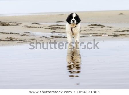 Zwart wit zoete hond kant Stockfoto © CatchyImages