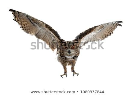 Oehoe geïsoleerd witte vlucht landing naar Stockfoto © CatchyImages