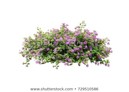 Izolált virág bokor illusztráció fű kert Stock fotó © bluering