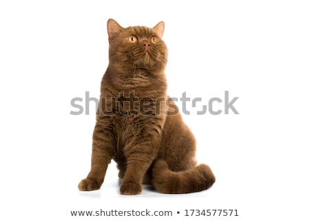 Beautiful cinnamon with white British Shorthair cat Stock photo © CatchyImages