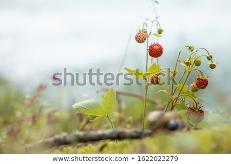 Berry of ripe strawberries close up. Nature of Norway Stock photo © cookelma
