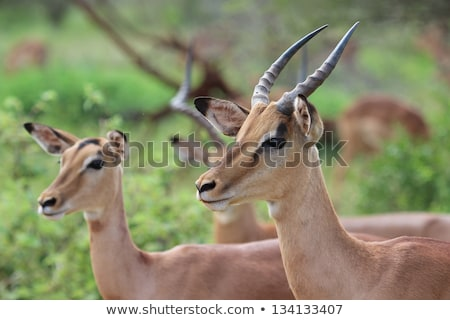 Female Impala standing in the grass. Stock photo © simoneeman