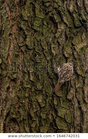 Eurasian treecreeper or common treecreeper sitting on tree  Stock photo © Arsgera