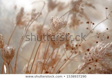 száraz · gyógynövény · mező · égbolt · természet · szépség - stock fotó © basel101658
