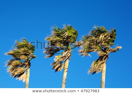 Palmtrees in Storm Stock photo © ildi