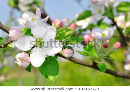 heldere · appel · bloesems · witte · voorjaar · bloem - stockfoto © RachelD32