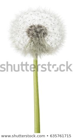 タンポポ · 花 · 飛行 · 種子 · 青 · 戻る - ストックフォト © brm1949