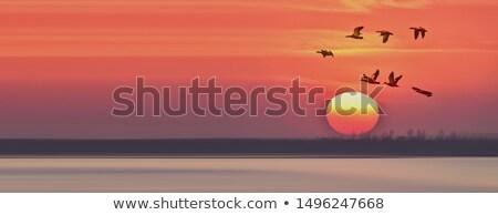 гусей закат Flying солнце озеро Сток-фото © Gordo25