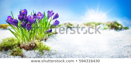 purple flowers in early spring Stock photo © taviphoto