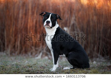 American Staffordshire terrier in sunset Stock photo © mady70