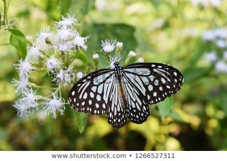 Ciemne szklisty Tygrys Motyl publicznych parku Zdjęcia stock © smuay