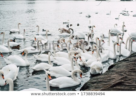 a lot of swans near charles bridge in prague stock photo © nejron