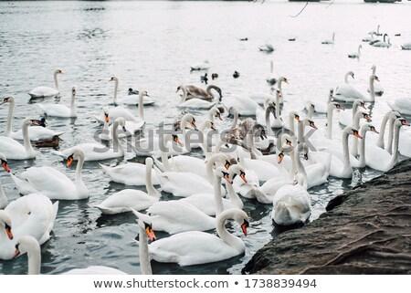 A lot of swans near Charles bridge in Prague Stock photo © Nejron