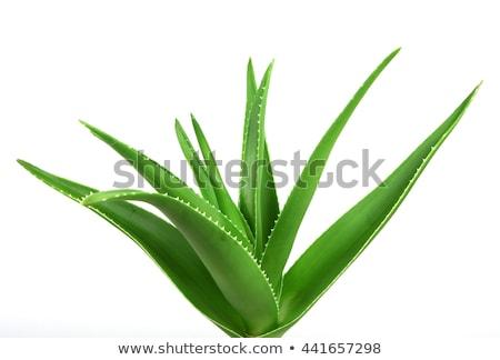 Aloë geïsoleerd witte bloem blad groene Stockfoto © ozaiachin