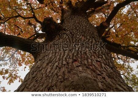Big Old Colorful Three in Autumn colors, beautiful Fall season Stock photo © Taiga