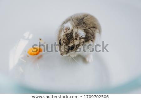 Jóvenes hámster nuez aislado blanco ratón Foto stock © jonnysek