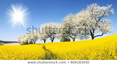 beautiful blooming trees in alley with field Stock photo © meinzahn