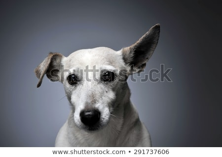 Stock photo: funny ears white dog portrait in graduated background