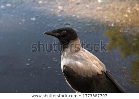 Wet gray crow Stock photo © Givaga
