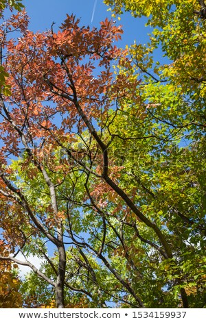 Autumn Leaves Changing Colours on Branch against Blue Sky Stock photo © frannyanne