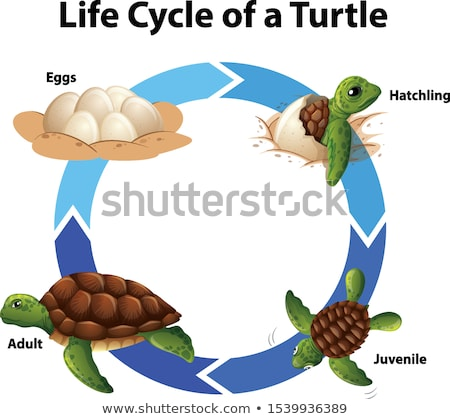Life cycle of turtle Stock photo © bluering