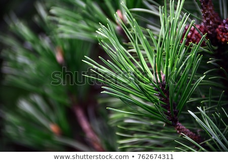 close up of pine cone on white background stock photo © nenovbrothers