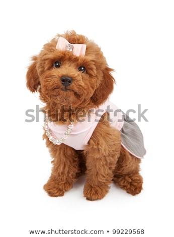 bonitinho · pequeno · branco · poodle · cão · roupa - foto stock © boggy