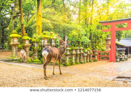 Sika deers in Nara Park, Japan Stock photo © daboost