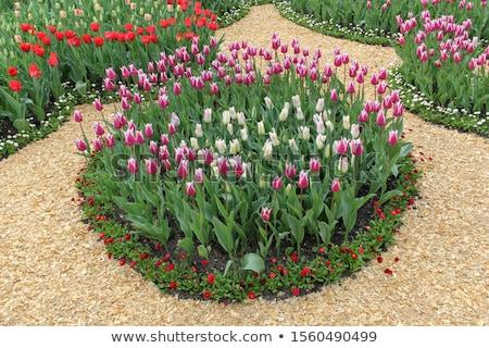 campo · vermelho · amarelo · roxo · tulipas · holandês - foto stock © elenabatkova