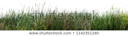Bulrush cattail on white Stock photo © AGfoto