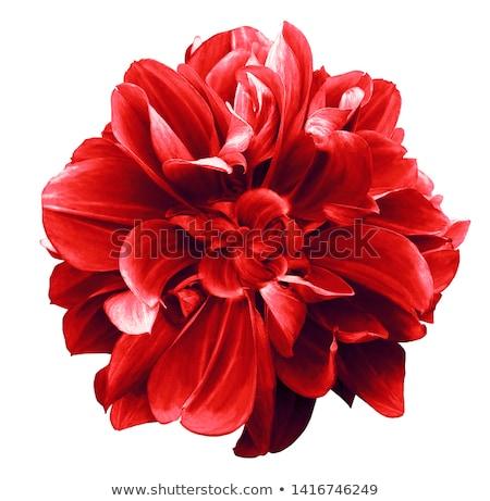 изолированный красный георгин цветок Blossom макроса Сток-фото © manfredxy