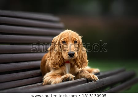 Young red English Cocker Spaniel dog portrait Stock photo © xbrchx