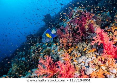 hal · korall · Vörös-tenger · víz · iskola · óceán - stock fotó © stephankerkhofs