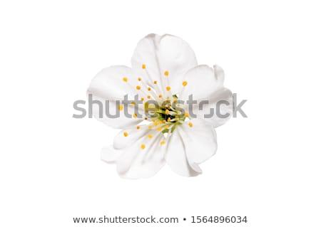 árvore frutífera flores brancas fresco ameixa árvore Foto stock © smithore