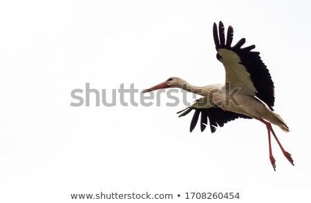 Stork in flight Stock photo © mobi68
