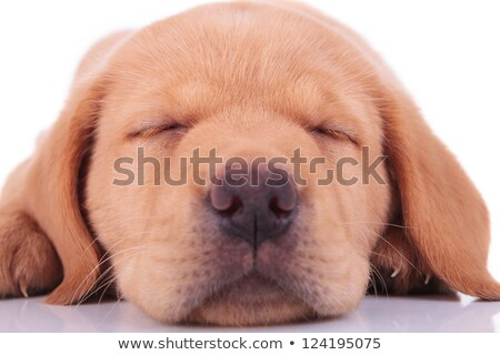 zijaanzicht · slapen · labrador · retriever · puppy · hond · witte - stockfoto © feedough