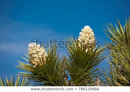 Ağaç çiçeklenme çöl Kaliforniya çiçekler bahar Stok fotoğraf © wildnerdpix