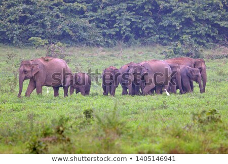 A herd of Asian elephants Stock photo © Hofmeester