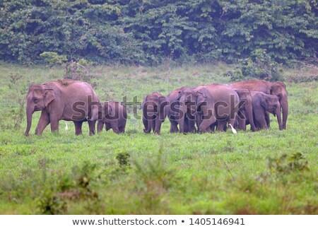 a herd of asian elephants stock photo © hofmeester