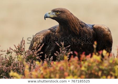 Portret gouden adelaar oog gezicht Stockfoto © chrisga