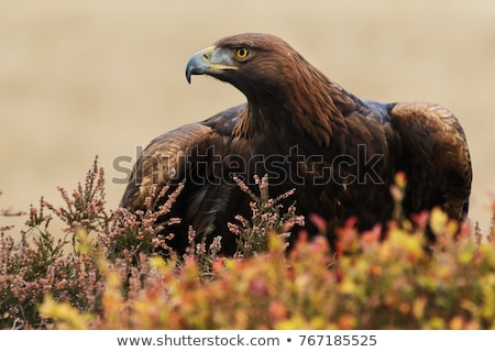 Retrato magnífico dourado Águia olho cara Foto stock © chrisga