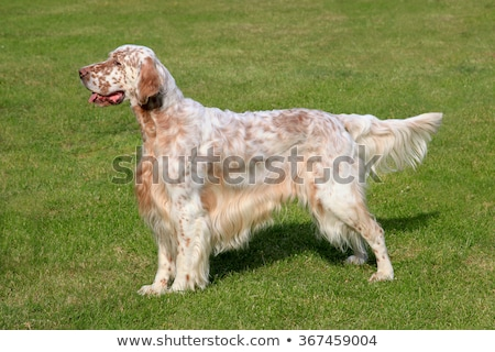 Typical English Setter in the garden Stock photo © CaptureLight