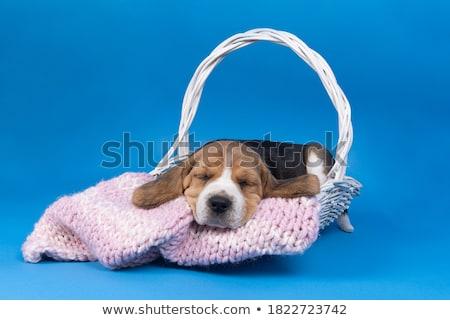 триколор Beagle щенков спальный Cute белый Сток-фото © remik44992