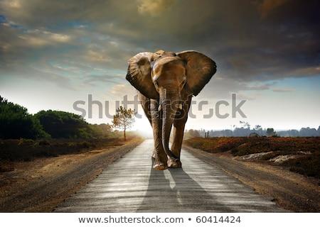 elefánt · sétál · szavanna · egy · afrikai · elefánt · utazás - stock fotó © jfjacobsz