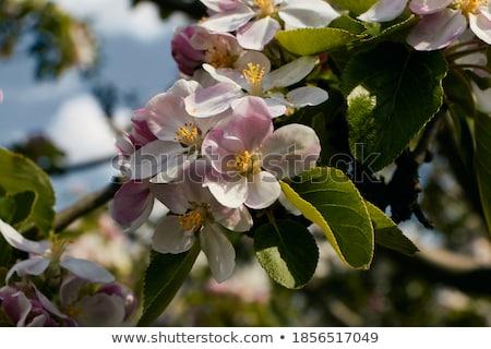 jovem · rosado · apple · tree · ramo · poucos · maçãs - foto stock © meinzahn