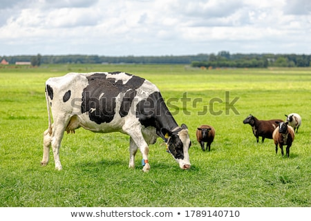 grazing sheep and cows in meadow stock photo © ivonnewierink